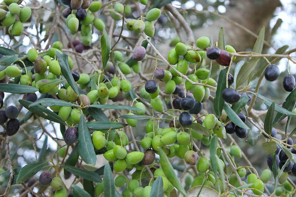 ricetta-olive-azienda-agricola-agrosi